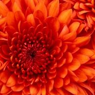 http://www.aasd.jp/wp-content/uploads/Chrysanthemum.jpg